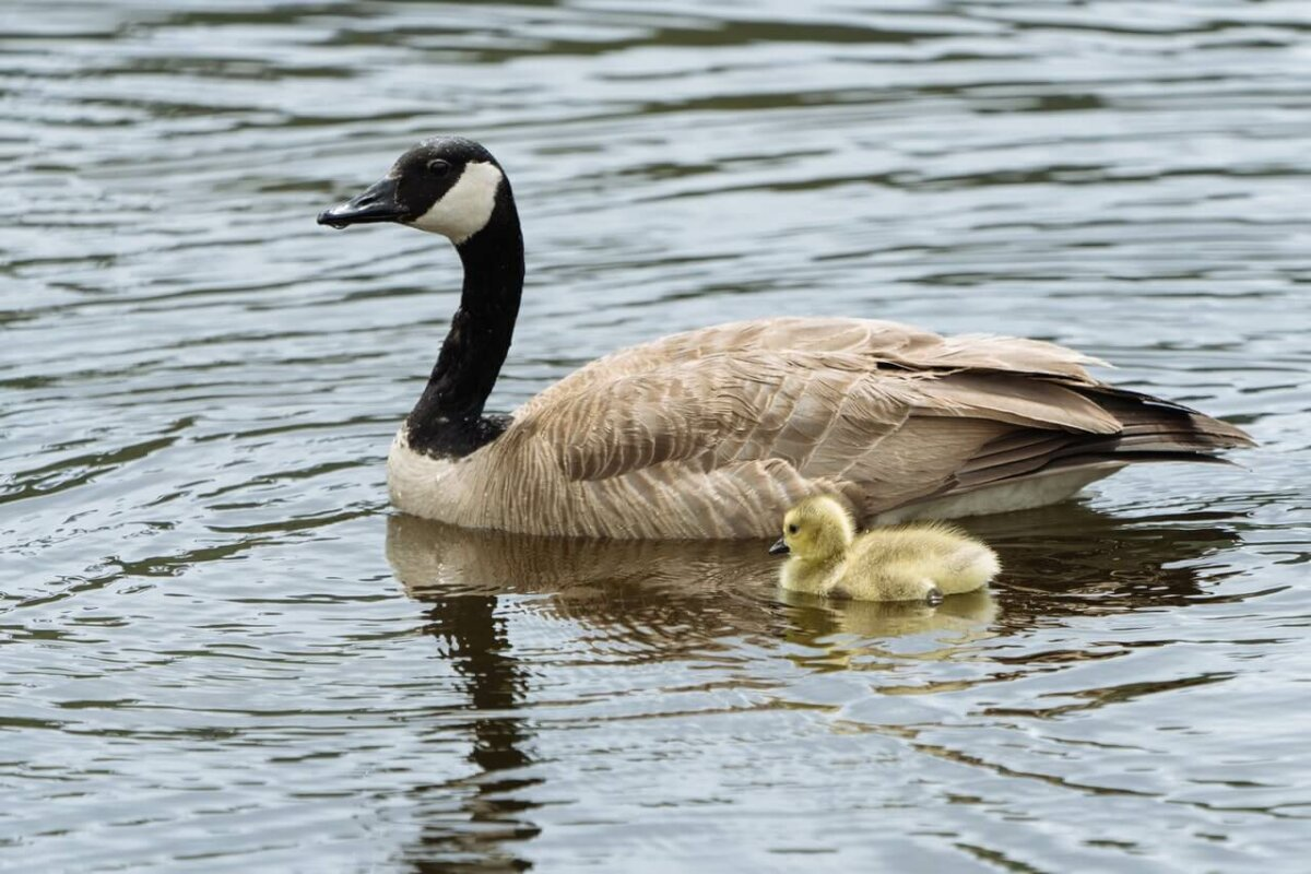 Gosling swimming next to its mother in a pond. Photo credit: Erick Todd