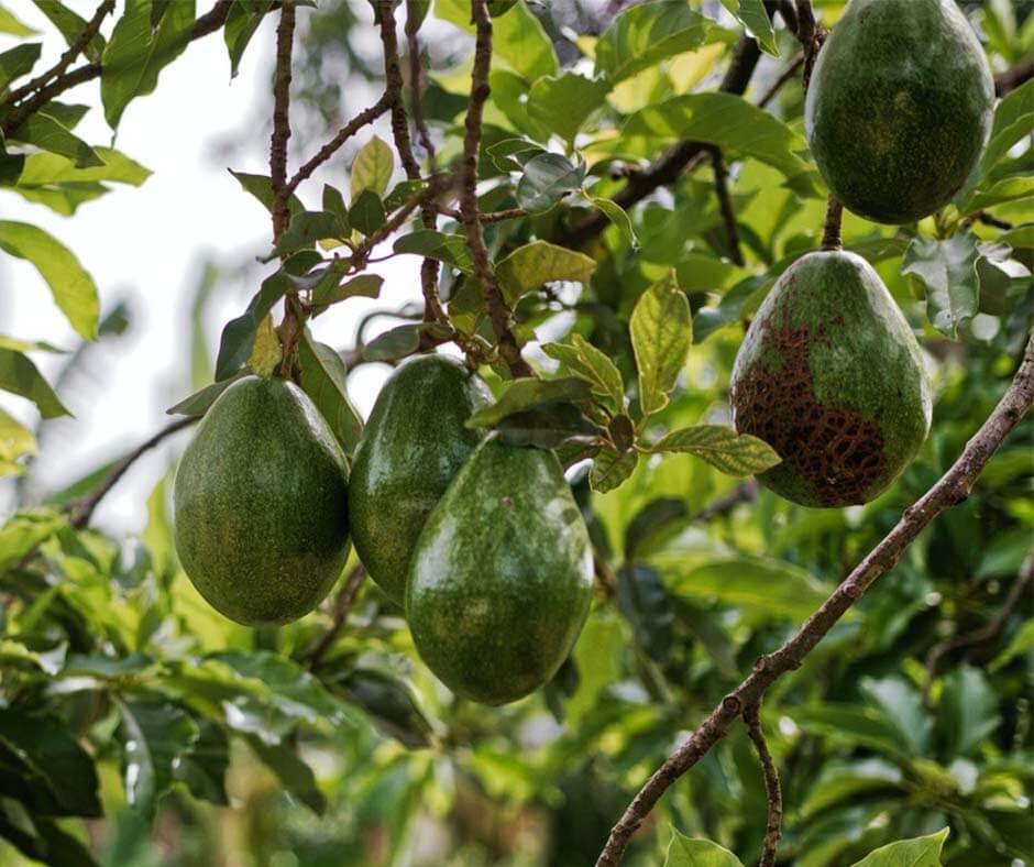 An avocado plant. Photo credit: Matthias Oben