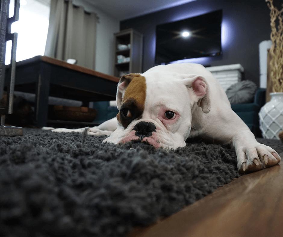 White and tan English Bulldog laying on a rug